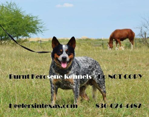 Blue Heelers For Sale : Blue heeler australian cattle dogs for sale blue heeler texas